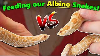 Feeding our ALBINO Snakes!! by Snake Discovery