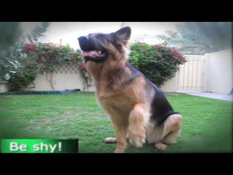 German Shepherd Dog Tricks