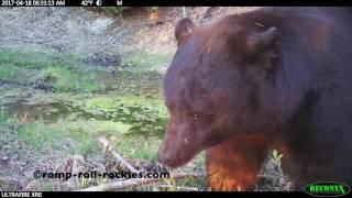 Video Milton the black bear returns for 2017! MP3, 3GP, MP4, WEBM, AVI, FLV Mei 2017