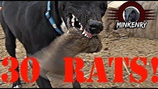 Video Mink and Dogs DESTROY 30 RATS!!! MP3, 3GP, MP4, WEBM, AVI, FLV April 2019