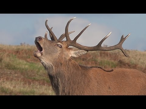 Red Deer Stag Bellowing -  Bradgate Park - 2018-10