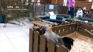 Петух ревнует курицу к павлину