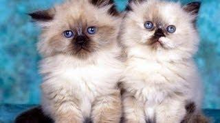 En Sevilen Kedi Türleri ve Özellikleri