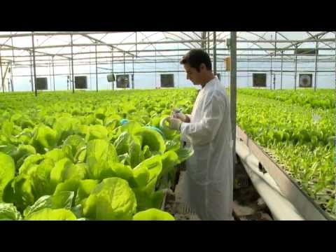 Hydroponic lettuce greenhouse factory -- fully Automated