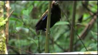 Video West Papua, Waigeo island and Arfakmountains Birds of Paradise. MP3, 3GP, MP4, WEBM, AVI, FLV Agustus 2019