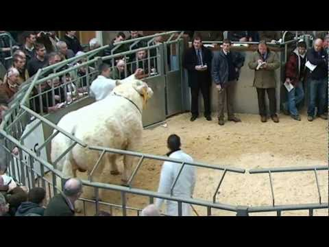 Charolais Bull Sales at Stirling - 8 top prices 12.5k - 14k February 2012