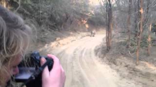 Ranthambore India  city photos : Tiger Safari - Tiger Chase / Attack Jeep in India's Ranthambore National Park