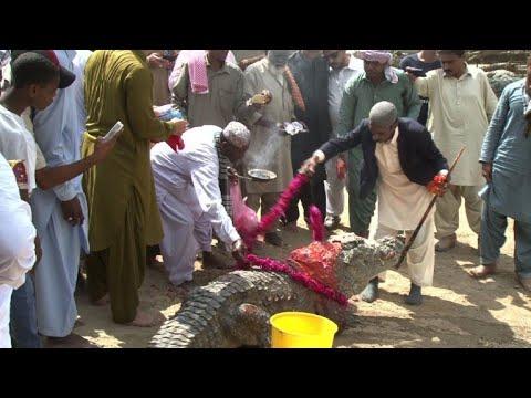 Pakistan's Sheedis celebrate crocodile festival in Karachi