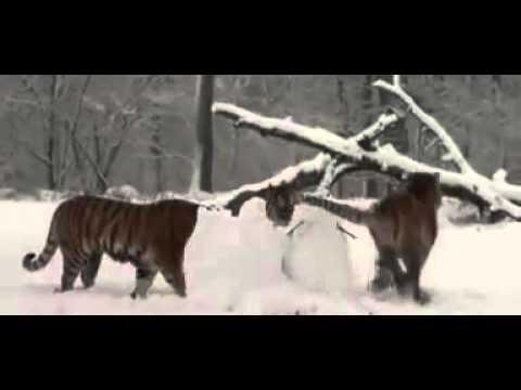 Tigrisek tépték szét a hóembert