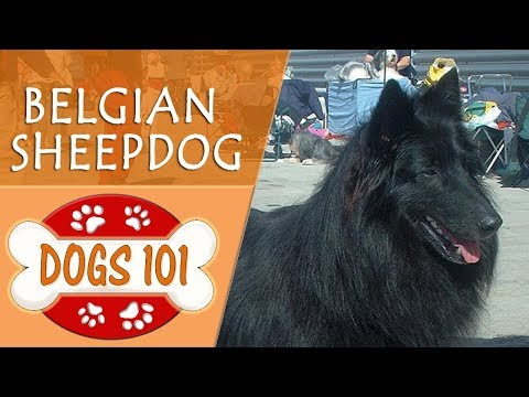 Dogs 101 - BELGIAN SHEEPDOG - Top Dog Facts About the BELGIAN SHEEPDOG (видео)