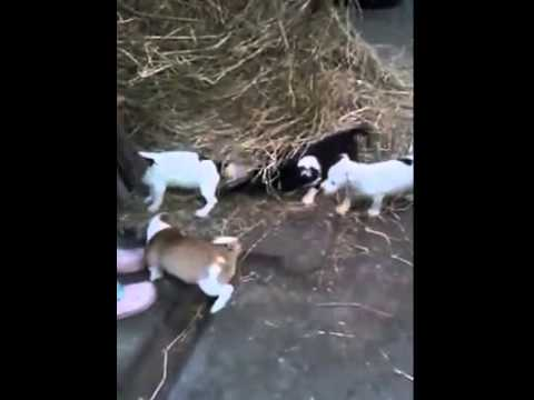Jack Russell cross Chihuahua Pups for Sale Lancashire – Jackhuahua Puppies Playing in the Hay