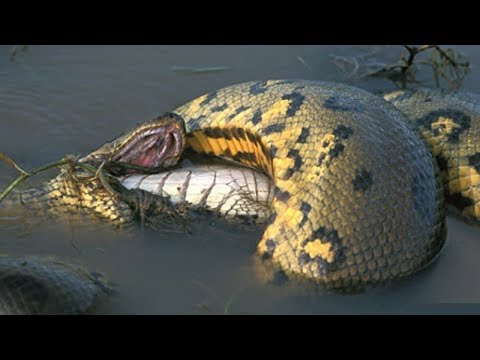 Anaconda Vs Crocodile Real Fight To Death - Wild Animals Attack