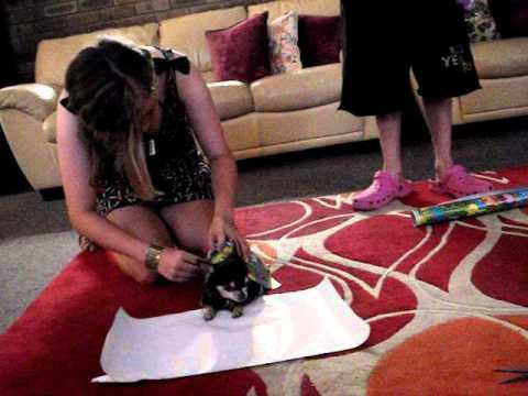 How to Wrap a Miniature Chihuahua for christmas