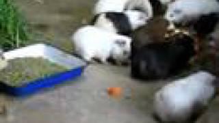 Video Guinea pigs FLOOD! meal time MP3, 3GP, MP4, WEBM, AVI, FLV Agustus 2018