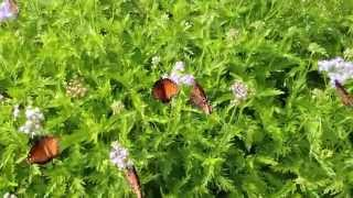 Queen Butterflies on Purple Mistflowers