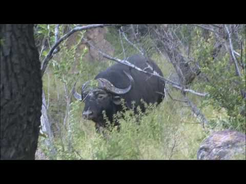 Africa Motsomi Hunting Adventures - Keith Appling Buffalo Hunt