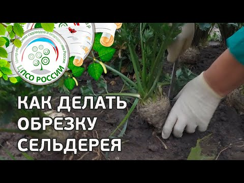 Обрезка придаточных корней сельдерея. Выращивание сельдерея корневого.