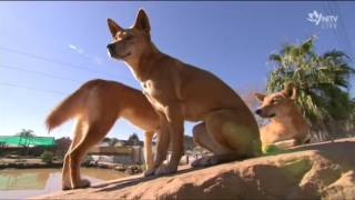 For thousands of years dingoes have lived in harmony with Indigenous communities. They are a native animal, and yet they haven't been given that official classification. In fact, in many states hunters are rewarded for killing them, and that's put a question mark over their survival. But there's now a campaign to change the way we see the dingo. So is the dingo dangerous, or just misunderstood? Joshua Said, who owns the Dingo Den Animal Rescue in Sydney's outer-west, says it's the latter. NITV's Madeline Hayman-Reber has the story for 'The Point'.