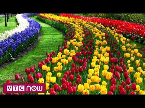 Rực rỡ hoa Tulip trên đường phố Thổ Nhĩ Kỳ | VTC1 - Thời lượng: 78 giây.