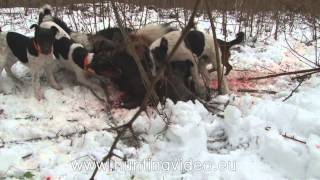 Nagykanizsa Hungary  city images : Wild Boar Drive Hunting In Hungary Nagykanizsa (HD)