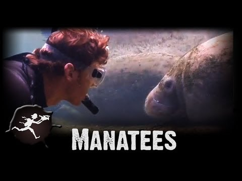 Manatees of Homosassa Springs