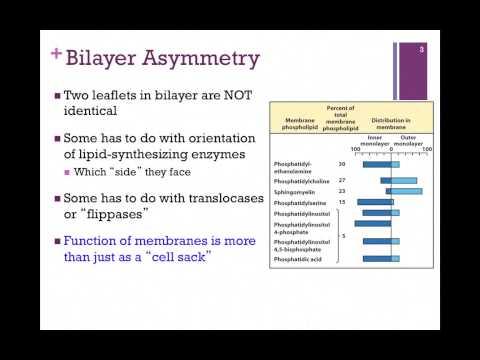 055-Bilayer Composition & Lipid Movement