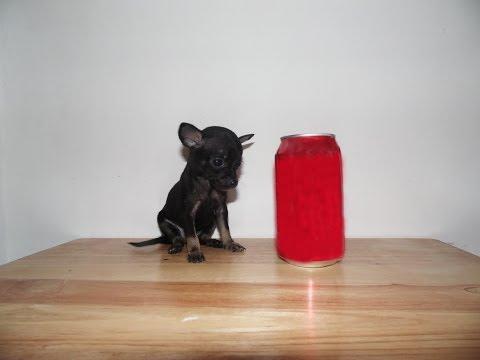 Cachorros Chihuahua de Bolsillo – Hembra Negra Micro Bolsillo