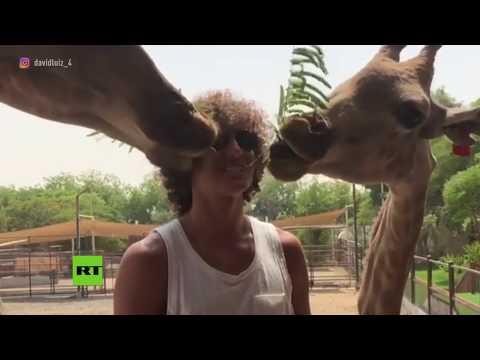 Una jirafa casi se come el cabello del futbolista brasileño David Luiz (VÍDEO)