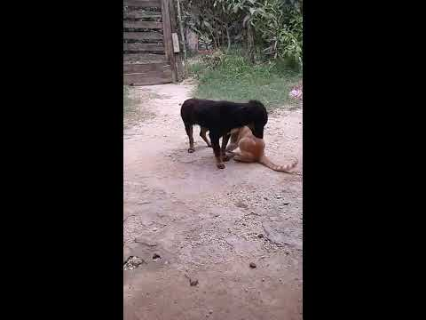 Video Gato hace sexo oral a perro, animales Gay :v jajaja - Cat makes oral sex a dog, gay animals download in MP3, 3GP, MP4, WEBM, AVI, FLV January 2017