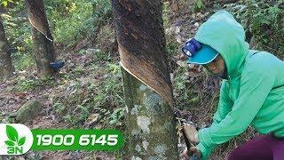 Trồng trọt | Xử lý thành công hiện tượng khô miệng cạo trên cây cao su