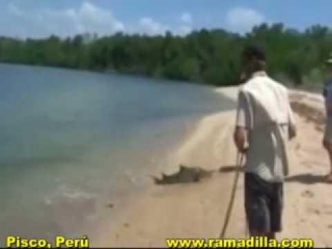 Croc Attacks Men - Cocodrilo ataca hombres