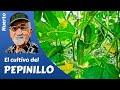 El cultivo del Pepinillo