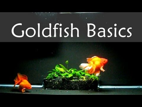How to take care of golden fish in a fish tank smart for How to take care of fish tank