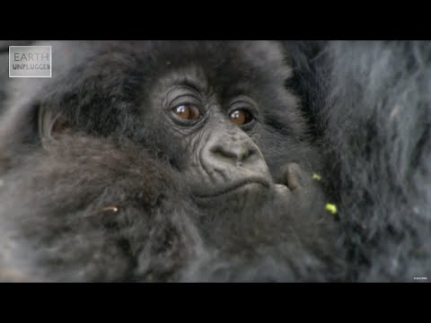 Video: Baby Mountain Gorillas