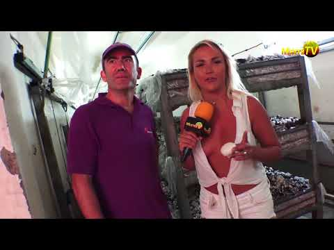 Mushroom Heaven ! - Cosecha de Hongos - Miami TV - Jenny Scordamaglia:  Mushroom Heaven ! - El mundo de los Hongos - Miami TV - Jenny ScordamagliaMadrid: 45 & 57Barcelona: 24Zaragoza: 31Argentina: 428Open Cable:Miami TV USA - Dial 51Miami TV Spain - Dial 54www.miamitv.esDownload our Mobile App freeMiami TV : app.miamitv.mobi, Itunes, Amazon App StoreSubscribe here:http://www.miamitvchannel.com.com/subscribeFacebook: http://www.facebook.com/miamitvTwitter: jennymiamitvUpcoming Live events: http://miamitvchannel.com/events