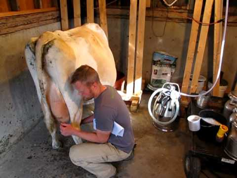 How to Milk Cows 1