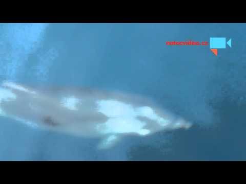 Delfíni v Chorvatsku