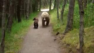 Mama GRIZZLY z dzieciakami gonią turyste na szlaku.