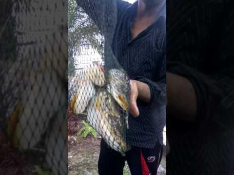 Download Video Mancing ikan tapah umpan tiwol di Bendungan wk marsawa