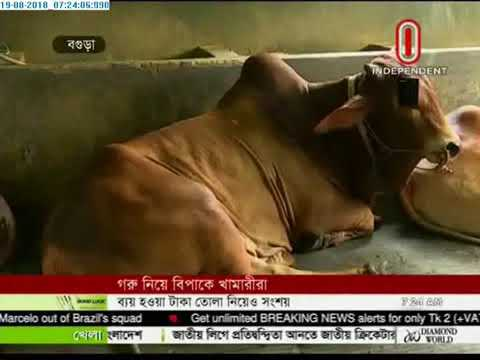 Not getting buyers for big cattle in haats (19-08-2018)