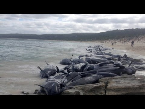 Nach genau 9 Jahren wieder: Wale stranden in dersel ...