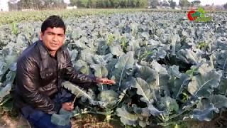ব্রকলি(Broccoli)- চাষ বাংলাদেশে -ক্যান্সার প্রতিরোধী লাভজনক ফসল