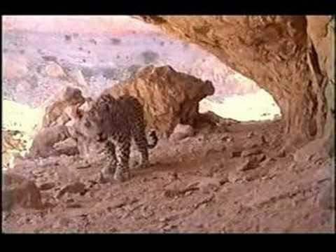 النمر العربي – الجبلي ( عبدالعزيز طالب )
