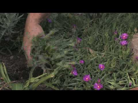 Plant Care Tips : How to Grow Ice Plant (Lampranthus)