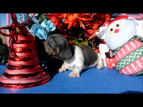 Skye AKC Female Blue Tan Piebald Miniature Dachshund Puppy for sale