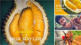 Video CANGKOK SUSU DURIAN MUSANG KING MP3, 3GP, MP4, WEBM, AVI, FLV Oktober 2018