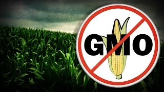 CORN Herbicide-resistant GMO corn could be harmful & escalate allergies - study