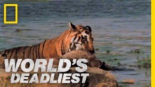 World's Deadliest - Tiger vs. Deer