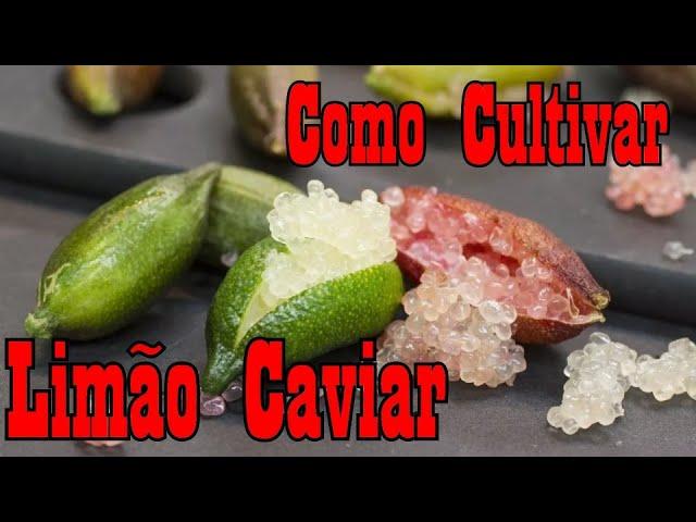 Como Cultivar Limão Caviar