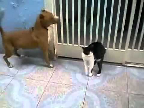 pitbull fights